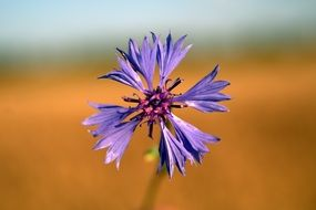 cornflower is a wildflower