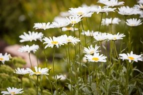 blooming white daisies in a green meadow