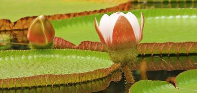 large buds of water lilies in a pond