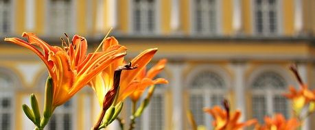 orange lilies on the background of the building