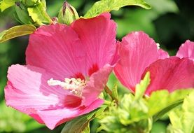 pink hibiscus in bloom