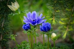 unimaginable Anemone flower