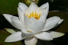 white water lily on water close up