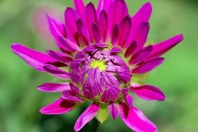 bright pink dahlia in the sunlight