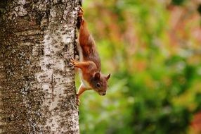 brown squirrel on a tree trunk