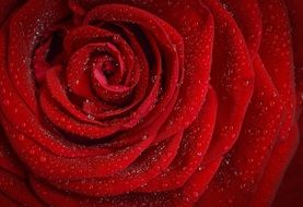 red rose in drops of water close-up