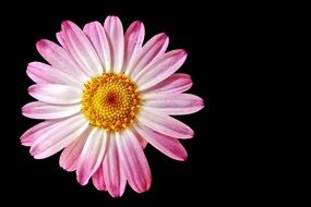 delicate pink gerbera on a black background