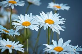 a bouquet of white daisies