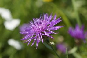 wonderful Knapweed Wild Plant