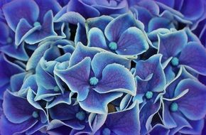 absolutely gorgeous Hydrangea Flowers