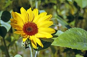 young yellow sunflower