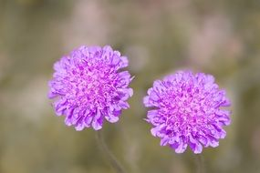 scabiosa columbaria purple flower
