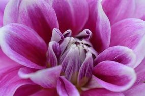 purple dahlia close up