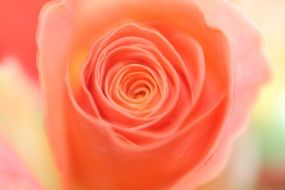 pale orange rose close up