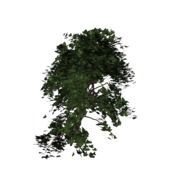 Ivy Plant Green Climber isolated