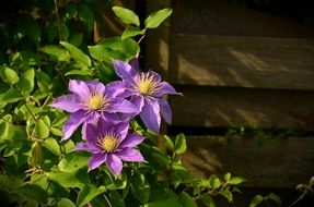 purple clematis flowers near a wooden fence