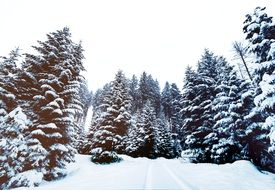 snow in a pine forest