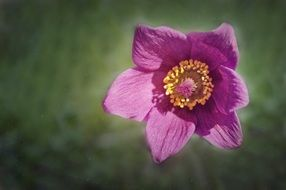 unusually beautiful Common Pasque Flower