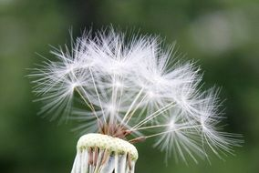 magnificent Dandelion