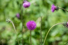 purple Wigs Knapweed Plant macro