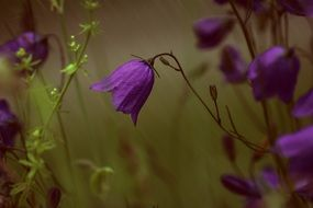 Purple bell in a rainy day