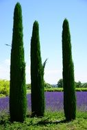 three cypress trees in a lavender field
