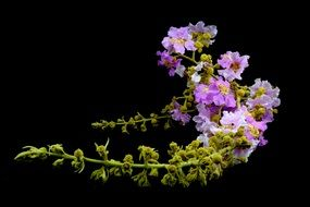 Speciosa Lagerstroemia, beautiful purple flowers at black background