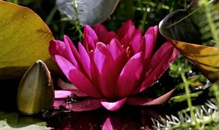 bright purple water lily