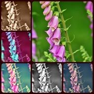 Collage of thimble flowers