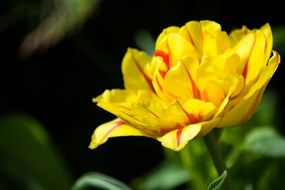 Tulip Yellow Red