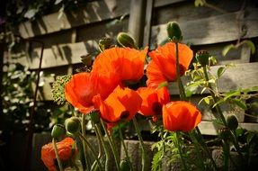 red poppies with buds near a wooden fence