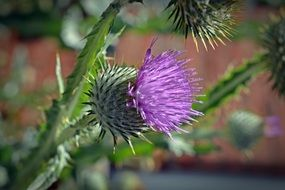 Thistle purple Blossom flower closeup