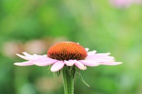 pale pink echinacea on a blurred background