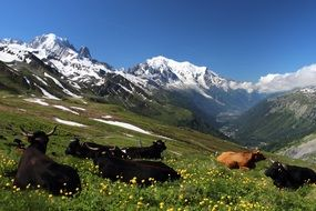resting cows on the alpine mountain