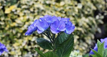 blue hydrangea flowers in summer