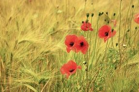 red poppies with buds among a barley field