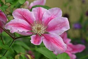 pink clematis blossom bloom climber
