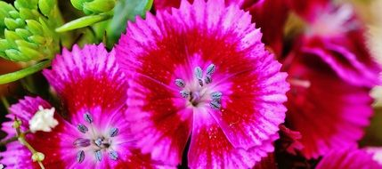 pink Flowers in Garden closeup