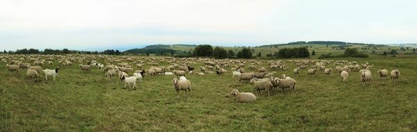 many sheep on a green meadow