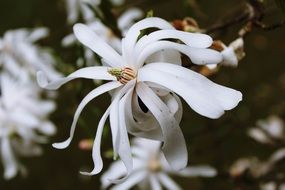 white flowers with long petals close-up