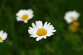 chamomile is a herbaceous plant