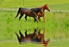 reflection of two stallions in a pond on a farm