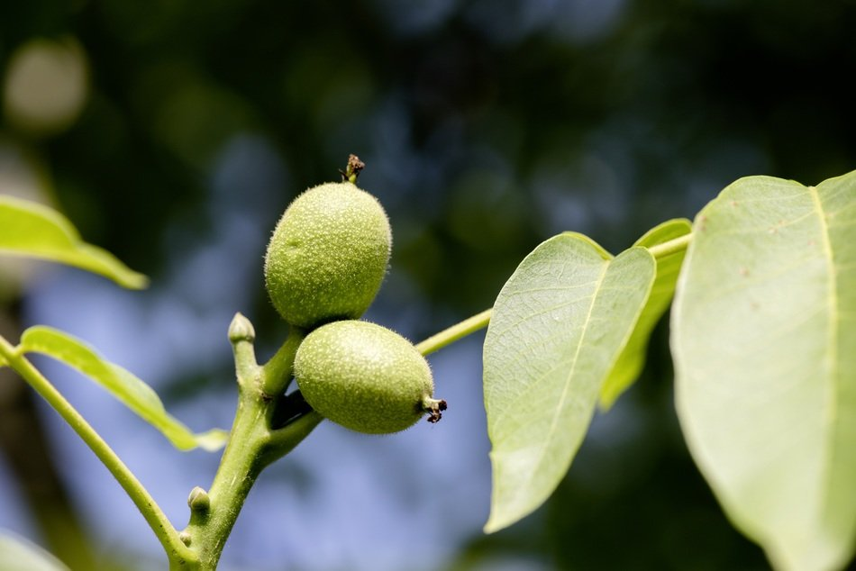 two green walnuts on a branch close up