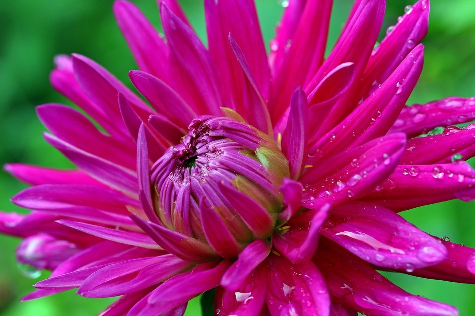 bright pink dahlia close up