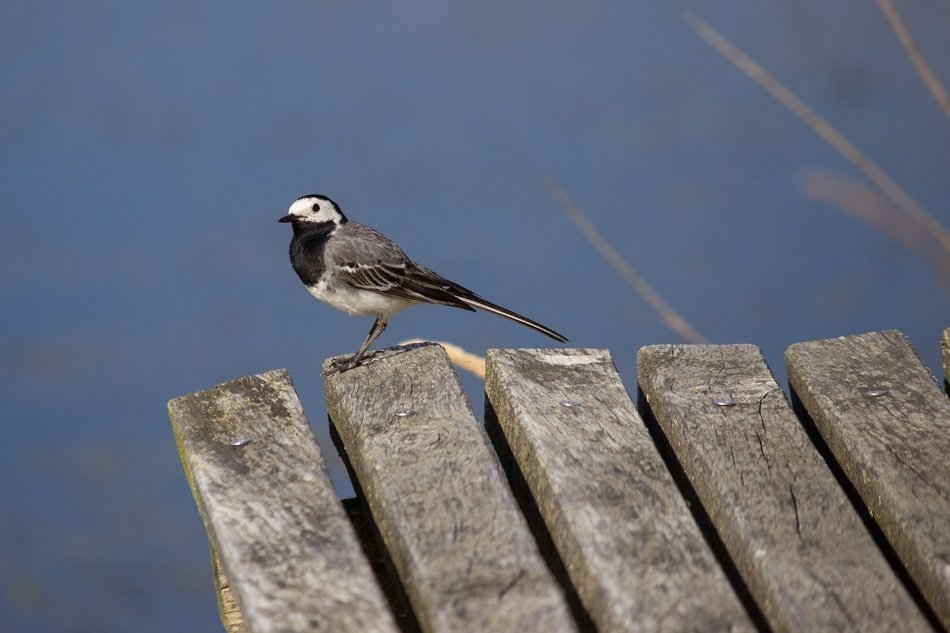 white wagtail on a wooden bridge