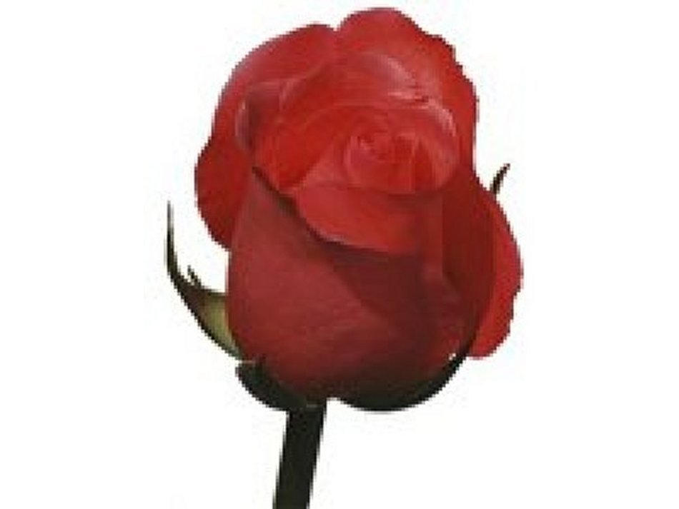 digital red rose bud