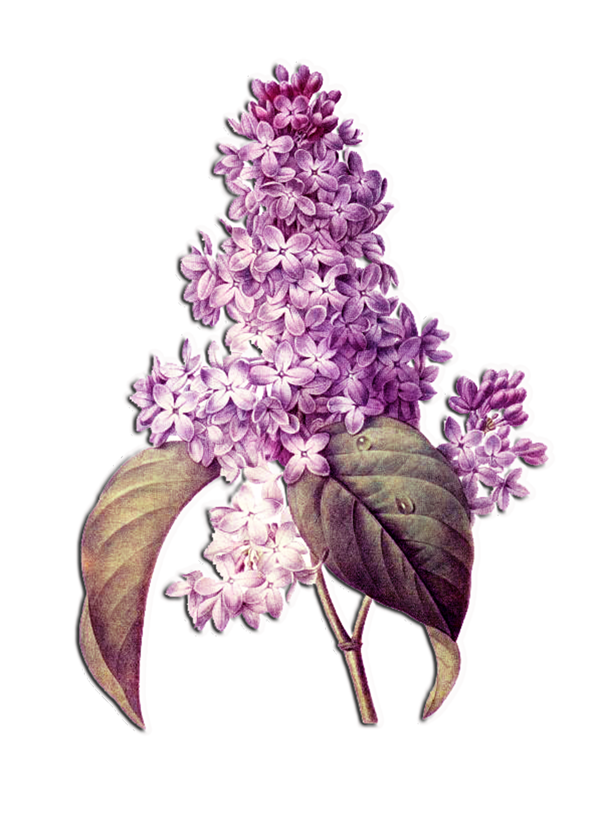 Lilac pictures to print Purple Lilac coloring page Free Printable Coloring Pages