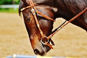 brown horse in a bridle close up