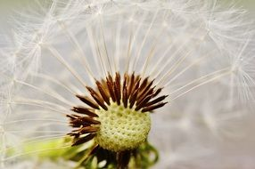 dandelion with seeds closeup