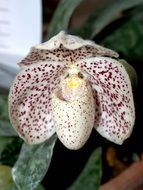 white orchid flower with dark spots